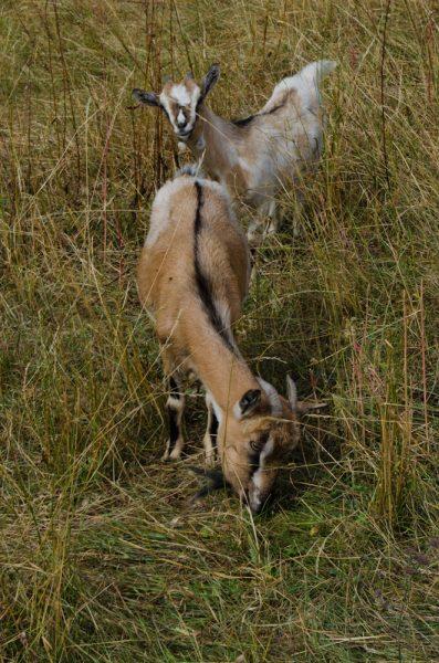 Mi pare che queste caprette abbiano le corna un po' corte per poterci filare la lana sopra!